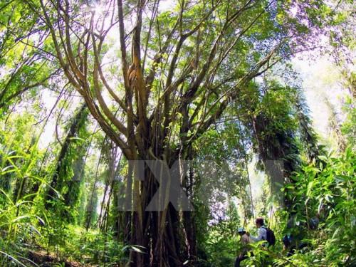 Cây cổ thụ trong Vườn quốc gia U Minh Hạ. (Ảnh: Duy Khương/TTXVN)