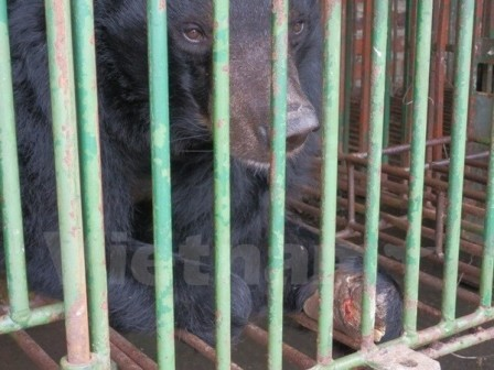 Cá thể gấu bị cụt cả hai chi tại hộ nuôi ở Quảng Ninh. (Ảnh: VietnamPlus)