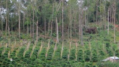 Đất rừng của Công ty lâm nghiệp Đác N'tao nằm trên địa bàn xã Nam Bình, huyện Đác Song, bị người dân lấn chiếm trồng cây công nghiệp