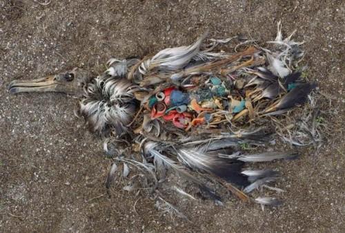 Một con chim biển bị chết do ăn phải quá nhiều nhựa. (Ảnh: VTC News)