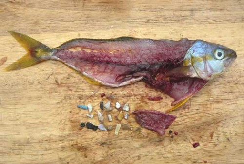 Một con cá ăn phải quá nhiều mảnh nhựa nhỏ. (Ảnh: VTC News)