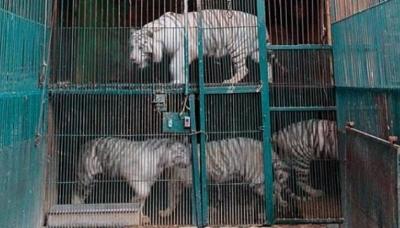 Hổ bị nuôi nhốt trong chuồng chật hẹp. (Ảnh: Nhân Dân)