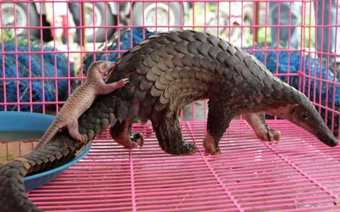 Vụ kiểm lâm Bắc Ninh bán 42 con tê tê cho nhà hàng lên báo chí Anh