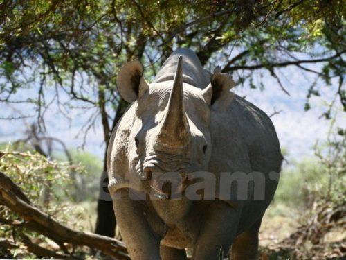 Sự bùng nổ của nạn buôn bán động vật hoang dã gần đây đang đe dọa đến sự sinh tồn của nhiều loài quý hiếm, nhất là tê giác ở Châu Phi. (Ảnh: ENV)