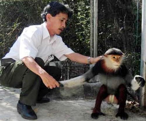 Một con voọc chà vá chân nâu được cứu hộ và thả về KBTTN Sơn Trà.  (Ảnh: Công an TP Đà Nẵng)