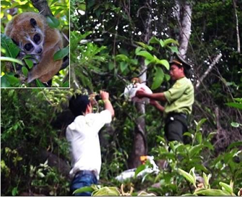 Chi cục KL và Cảnh sát Môi trường thả một cá thể Cu li về môi trường tự nhiên. (Ảnh: Công an TP Đà Nẵng)