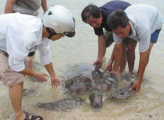 Phát hiện cá thể rùa biển có trọng lượng lớn ở phá Tam Giang