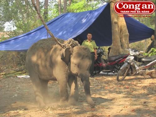 Việc chăm sóc voi bị thương có nhiều biến chuyển đáng mừng. (Ảnh: Công an TP Đà Nẵng)