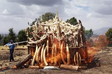 Tiêu hủy sáu tấn ngà voi để lấy tro bón phân cho cây