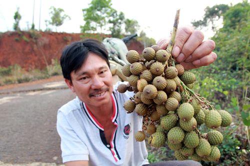Một thương lái đang mua gom trái mây rừng trên quốc lộ 28 (Đắk G'Long, Đắk Nông). (Ảnh: Trung Tân)