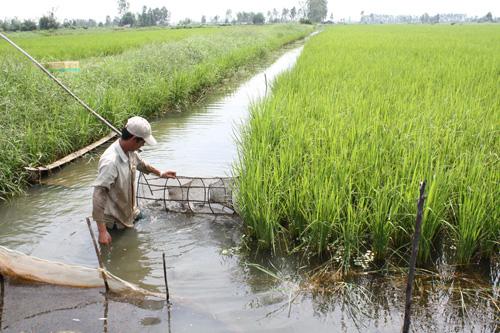 Mô hình kết hợp lúa - tôm mang lại hiệu quả kinh tế cao cho nông dân. (Ảnh: Huỳnh Sử - TTXVN)