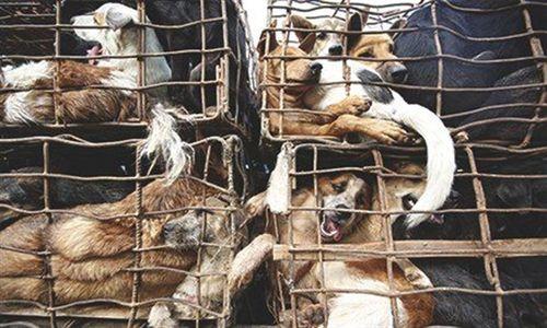 Chó vượt sông, vượt bộ từ Thái Lan tìm đường sang Việt Nam