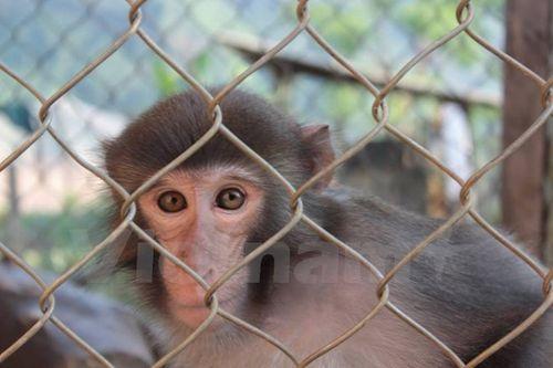 """Đã """"giải cứu"""" chú khỉ quý sau hơn một năm """"sống buồn"""" trong lồng sắt. (Ảnh: Hoàng Chiên/Vietnam+)"""
