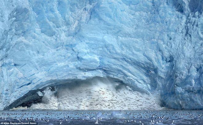 Sửng sốt trước cảnh tượng hàng ngàn con mòng biển săn mồi trên sông băng
