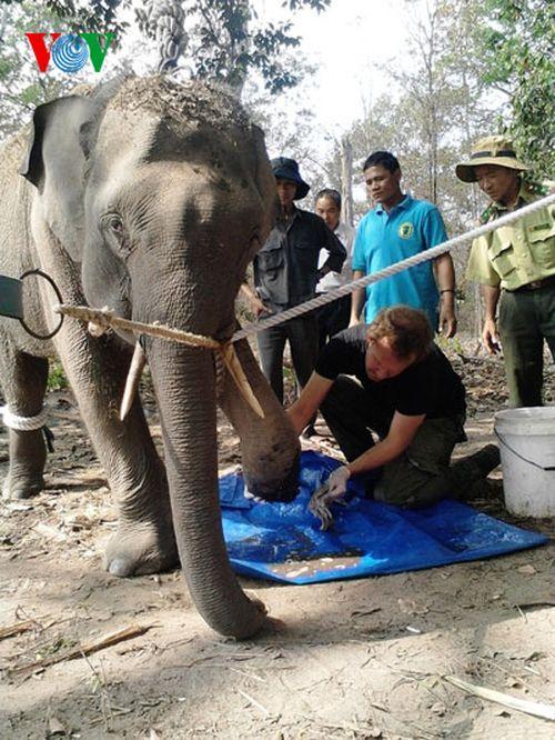Voi rừng mắc bẫy ở Đắk Lắk được chuyên gia Thái Lan chữa trị