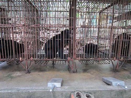 Nạn nuôi nhốt gấu giảm hơn 70%