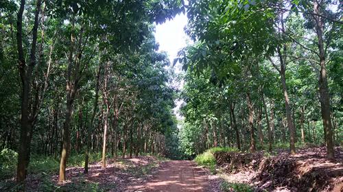 Vườn cây cao su phát triển tốt ở Sơn La... (Ảnh: nongnghiep.vn)