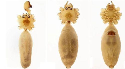 LoàiPholcus caecussp.nov.