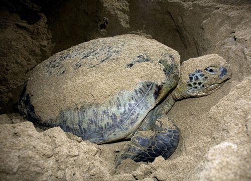Đẩy mạnh công tác bảo tồn Rùa biển ở Côn Đảo