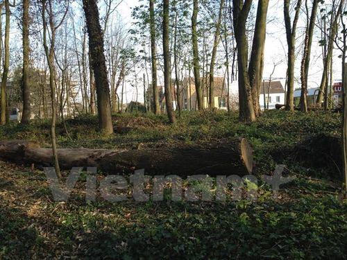 Thân cây sau khi chặt bỏ được để trên mặt đất nhằm phân hủy tự nhiên, làm giàu dinh dưỡng cho đất cũng như cải thiện sức khỏe cho rừng. (Ảnh: Hương Giang/Vietnam+)