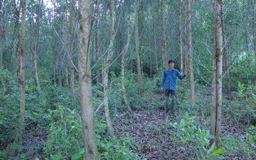 Trên diện tích 20ha rừng, từ năm 2010 đến nay mỗi năm gia đình anh Thạch thu về 200 triệu đồng. (Ảnh: Ngọc Tấn)