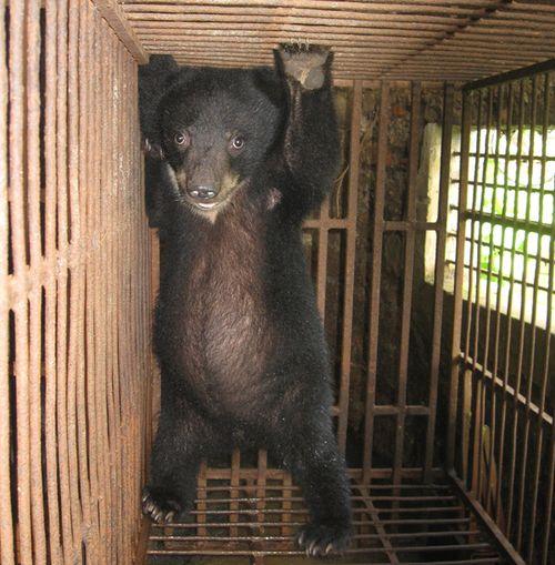 NSƯT Trung Hiếu kêu gọi chấm dứt nạn trích hút mật gấu tàn nhẫn