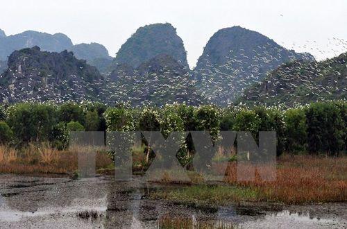 Đàn cò di cư về khu bảo tồn thiên nhiên đất ngập nước Vân Long, Ninh Bình. (Ảnh: Thanh Hà/TTXVN)