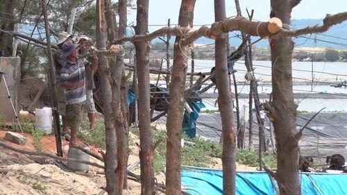 Người dân tự ý đốn hạ hàng trăm cây phi lao để đóng cọc xung quanh bờ bao các hồ tôm. (Ảnh: Phương Nam)