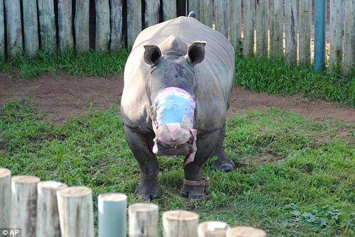 Chú tê giác này đã bị băng săn trộm tấn công tại khu bảo tồn động vật hoang dã Lombardini, bờ tây Châu Phi. Hiện nay, nhu cầu sừng tê giác ở khu vực Châu Á tăng cao dẫn đến tình trạng săn bắn tê giác ngày càng tăng. (Ảnh: Daily Mail)