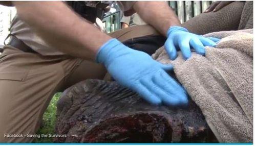 Các bác sĩ thú y của khu bảo tồn đã nhanh chóng làm sạch vết thương, phẫu thuật xương, sau đó bít lại bằng một miếng thủy tinh tổng hợp vô trùng. Họ cho rằng, vết thương này phải sau một năm mới có thể chữa lành. (Ảnh: Daily Mail)