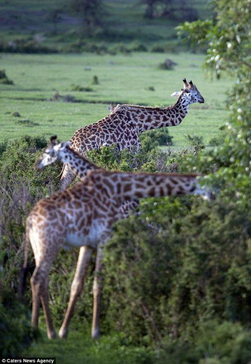 Con hươu cao cổ là một trong những điểm nhấn của công viên quốc gia Serengeti. (Ảnh: Caters News Agency)