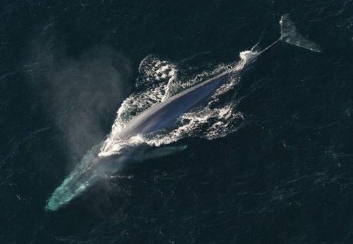 Lộ diện loài cá voi mạnh nhất thế giới