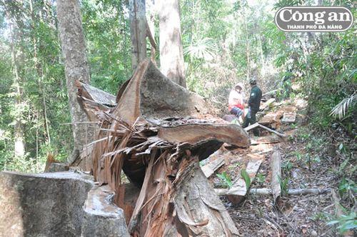 Cây gỗ lớn bị triệt hạ. (Ảnh: Công an TP Đà Nẵng)