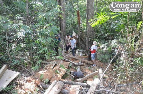 Hiện trường mà lâm tặc chặt hạ cây trong rừng A Sờ. (Ảnh: Công an TP Đà Nẵng)