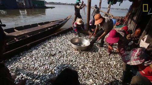Nếu trúng, mỗi lần thu hoạch lô, có thể đầy 1 khoang xuồng cá như thế này. (Ảnh: nongnghiep.vn)