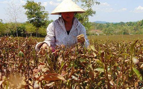 Bà Phan Thị Hoàng ở xã Hương Trà (Hương Khê, Hà Tĩnh) thất thần trên ruộng chè bị cháy khô. (Ảnh: Hữu Anh)