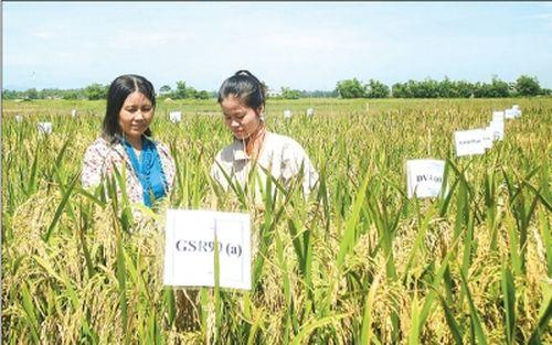 Đánh giá năng suất, đặc tính chống chịu hạn của bộ giống siêu lúa xanh (GRS) tại tỉnh Quảng Nam (Theo nguồn cayluongthuc.blogspot.com).