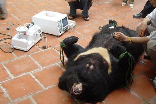 Nỗi đau của gấu