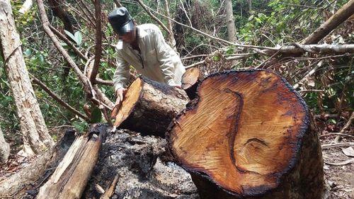 Những khúc gỗ giáng hương có đường kính lớn bị cháy nham nhở còn sót lại. (Ảnh: nld.com.vn)