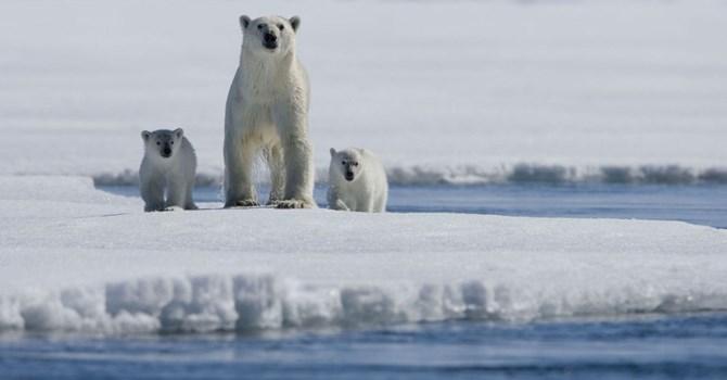 Gấu Bắc cực được dự báo sẽ bị tuyệt chủng vào năm 2025?