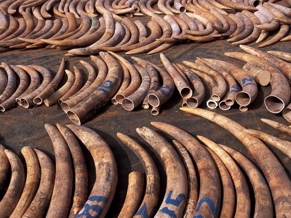 Mozambique đã tiêu hủy hơn 2,6 tấn ngà voi và sừng tê giác