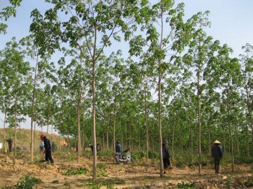 Một diện tích chuyển đổi rừng nghèo sang trồng cao su tại huyện Chư Prông (Ảnh: C.B)