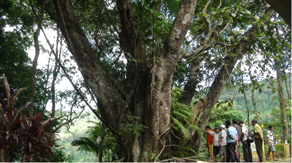 Rừng pơmu cổ thụ được công nhận Cây Di sản Việt Nam