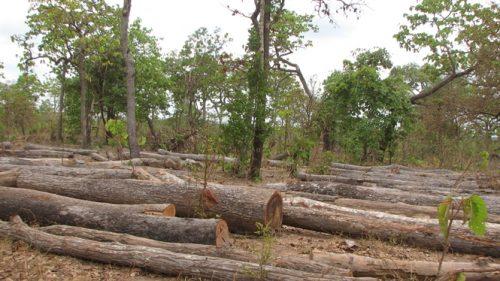 Hàng ngàn mét khối gỗ rừng tự nhiên bị chặt để nhường đất cho dự án 50.000 ha cao su.