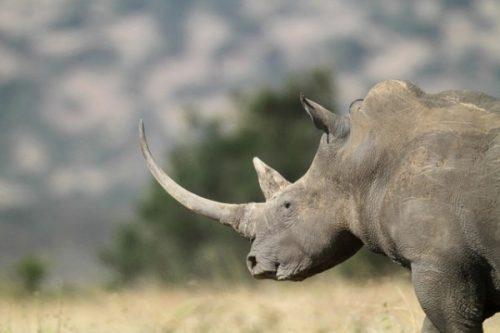 Một con tê giác phương Bắc (Ảnh: natureworldnews)