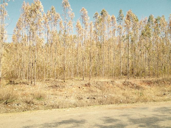 Rừng trồng Bình Thuận chết hàng loạt