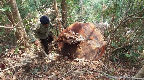 Một cây gỗ cổ thụ bị đốn hạ trong rừng phòng hộ đông bắc Chư Păh (Ảnh: Hoài Nam/TTXVN)