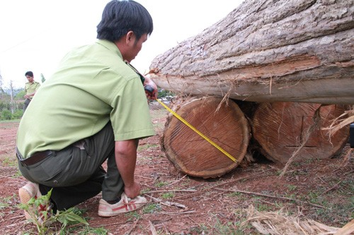 Kiểm lâm tiến hành đo đếm số gỗ bắt được (Ảnh: Hoài Nam/TTXVN)