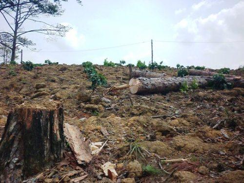 """Một cánh rừng thông ở Lâm Đồng bị tàn phá do các đối tượng """"ken cây"""" và đổ hóa chất"""