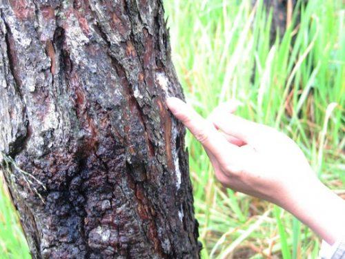 Cận cảnh cây thông bị đổ hóa chất